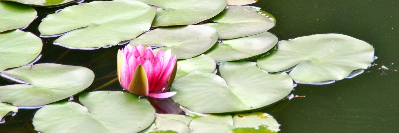 Rote Seerose auf Wasser.